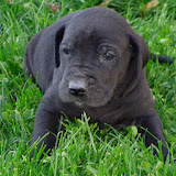 Pam's solid black girl @ 4 weeks