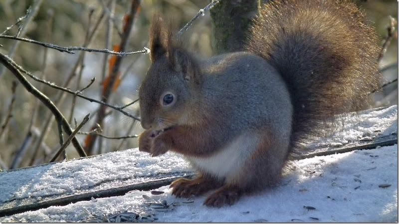 cyrilsquirrel-001