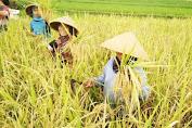 Produksi Melimpah, Gerak Cepat Wakil Bupati Bulukumba Optimalkan Serap Gabah Petani
