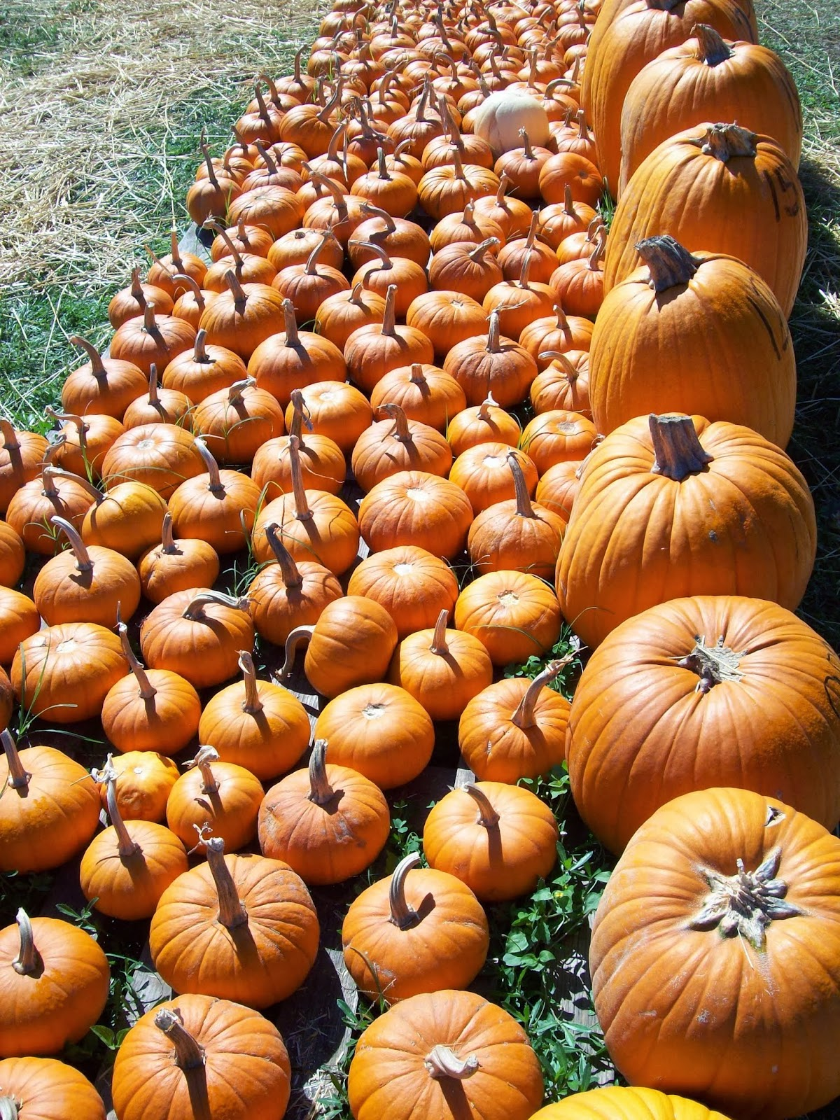 Pumpkin Patch - 114_6554.JPG