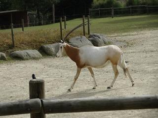 2016.09.02-036 oryx algazelle