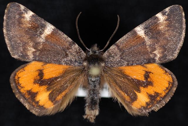 Infant moth (Archiearis infans)