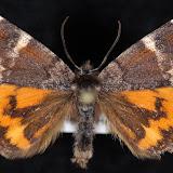 Infant moth (Archiearis infans)