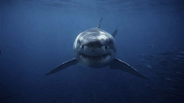 Shark Advocates Want To Replace Wording For Shark 'Attacks' With 'Bites'