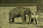 Indiai elefánt a budapesti állatkertben, 1895 (Fotó: OSZK)