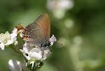 Egesommerfugl, ilicis2.jpg