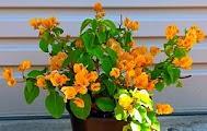 Yellow Colour Bougainvillea in Pot