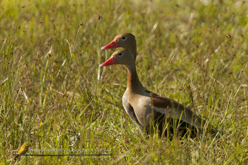 Sirirí vientre negro (Black-bellied Whistling-duck)