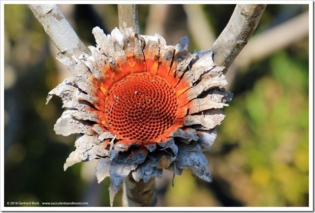 160813_UCSC_Arboretum_030