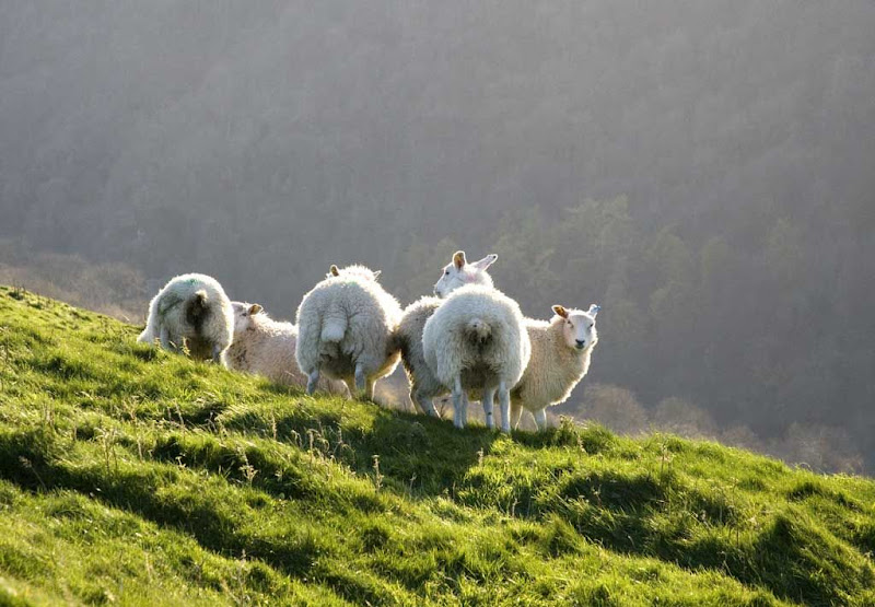 Sheep-on-Baley-Hill