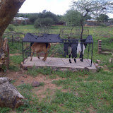 Goats beating the heat on a grave in Mochudi