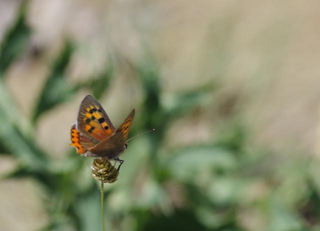 Lycaena phlaeas, mâle. Les Hautes-Courennes, Saint-Martin-de-Castillon (Vaucluse), 15 juin 2015. Photo : J.-M. Gayman