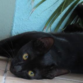 Cuban beautie by Paul Popovici - Animals - Cats Portraits (  )