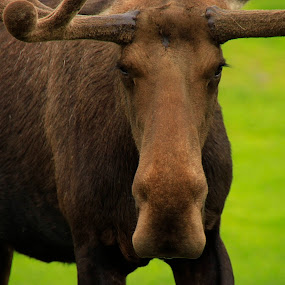 Manly Moose by Rob Bartlett - Animals Other Mammals ( antlers, moose, alaska, brown, bull )