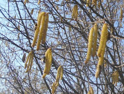 Bees on the hazelnut-catkin