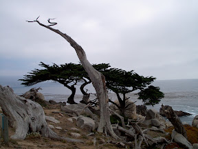 Cypress trees overlooking the Pacific Ocean