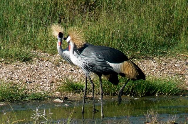 Serengeti National Park - crested cranes