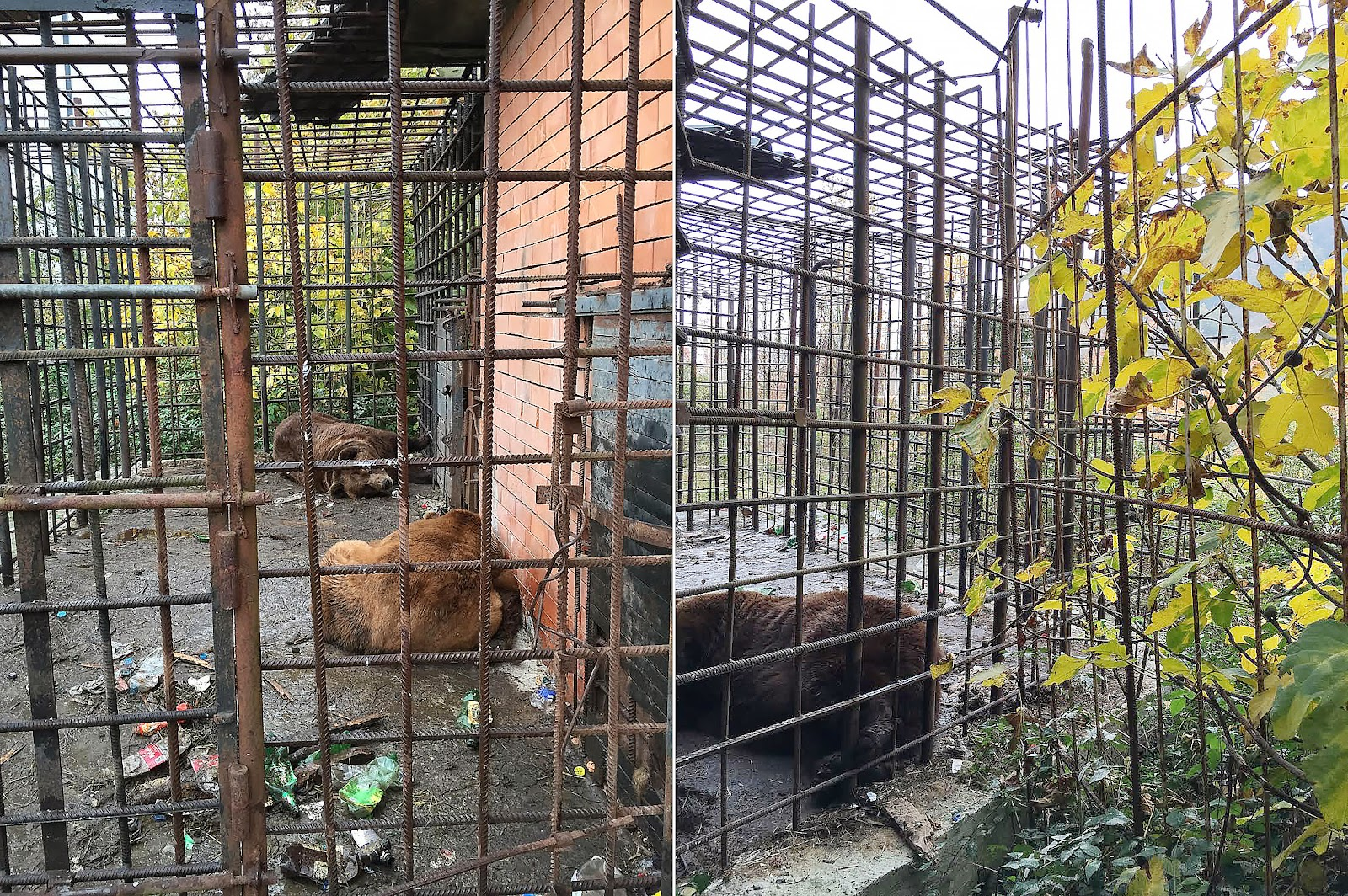 Два медведя-алкоголика изъяты у хозяина ресторана в Сочи