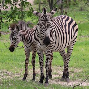 Female Zebra and Baby, Zambia