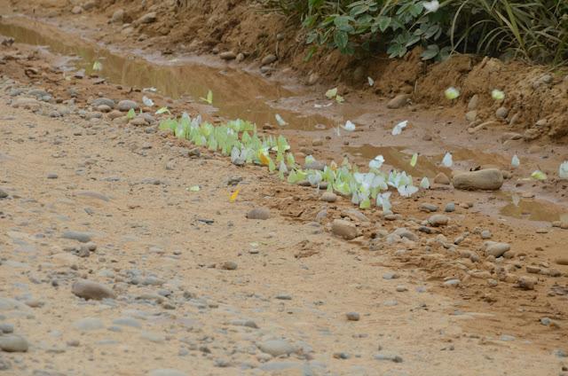 Pieridae, surtout Aphrissa statira (CRAMER, 1777). Piste de Rurrenabaque à Reyes (El Beni, Bolivie), 22 octobre 2012. Photo : C. Basset