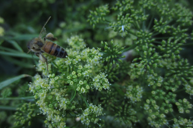 bee on parsley