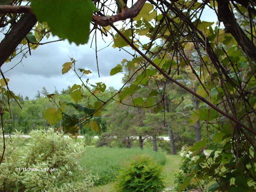 under the grape arbor