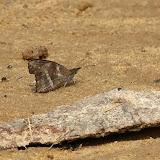 Libythea labdaca WESTWOOD, 1851. Bobiri Forest (Ghana), 1er décembre 2013. Photo : J.-F. Christensen