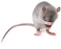 Why does a drug extend fear memory at some points of the month in female mice, but always shorten it for male mice? Image by sibya from Pixabay