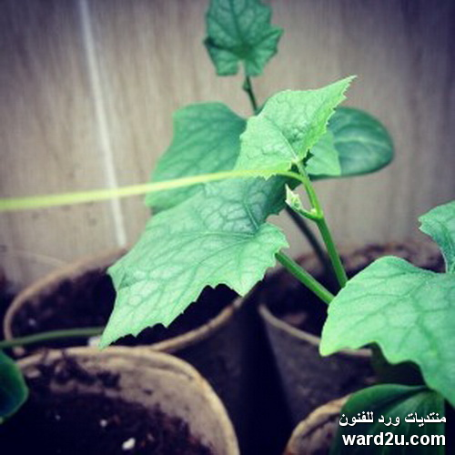 نبات اللوف فى معلومات و صور