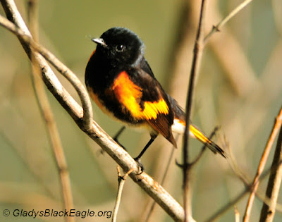 Neotropical Migrant: American redstart male