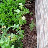 Gardening 2010 - 101_1605.JPG