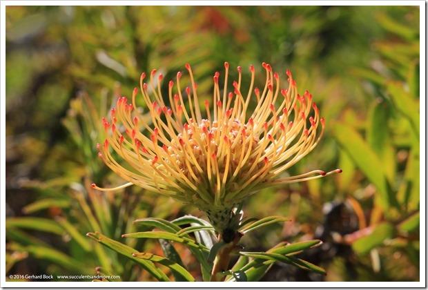 160813_UCSC_Arboretum_-Leucospermum-glabrum-x-conocarpodendron_006