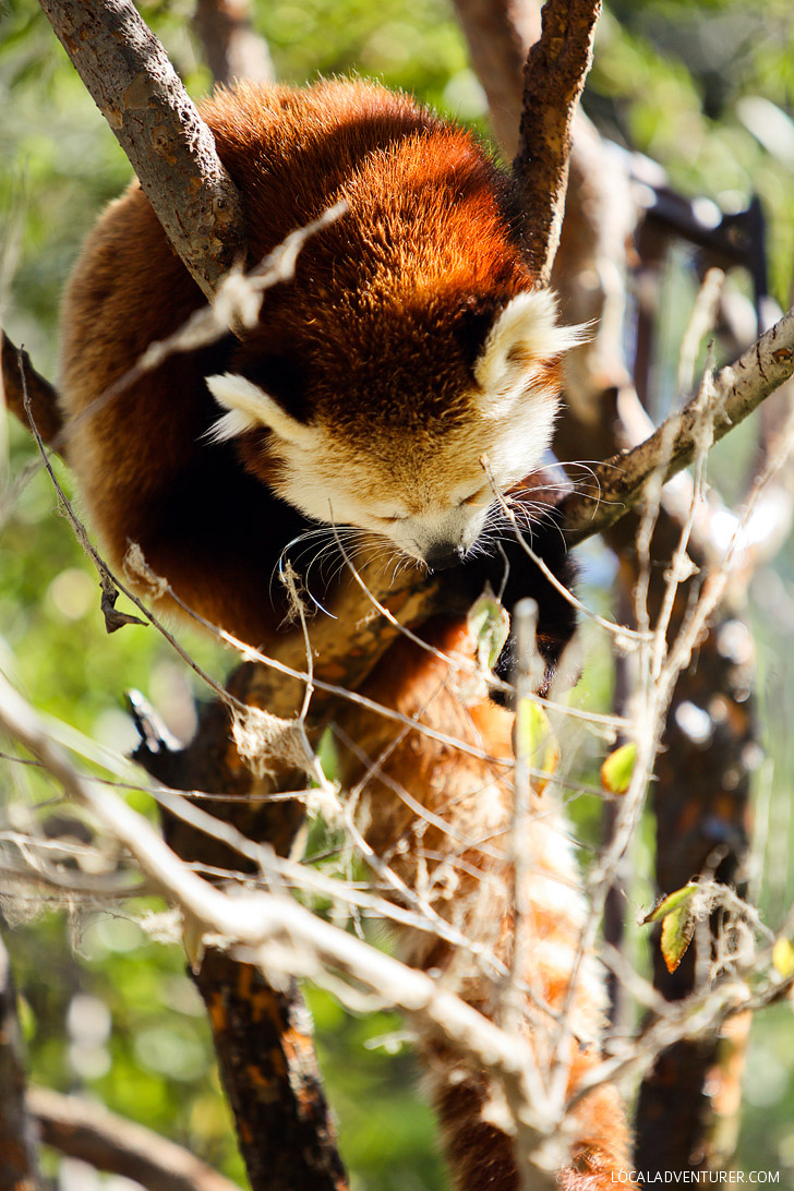 Red Panda San Diego Zoo Animals.