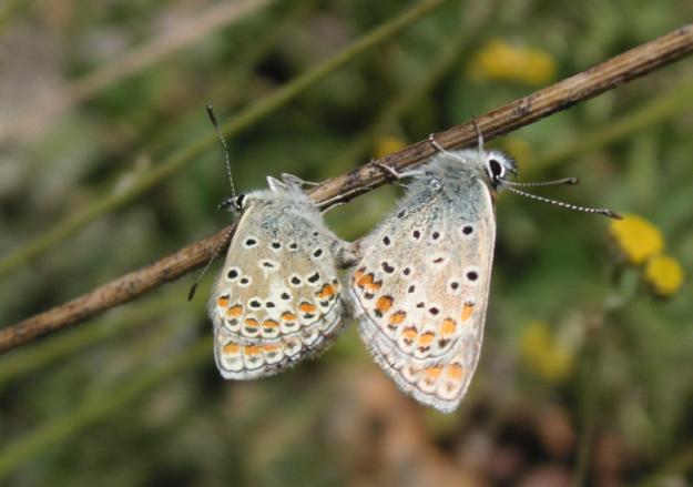 Couple de Polyommatus venus STAUDINGER, 1886. Kuh-i-Lal, 3600 m, 17 juillet 2007. Photo : J. Michel