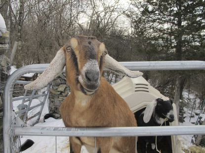 Town elects goat and dog as mayor