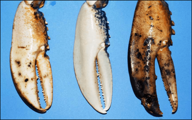 European lobsters with mild, none, and severe shell disease (left to right). Photo: Andrew Rowley / Swansea University