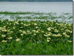 Water lilys everywhere