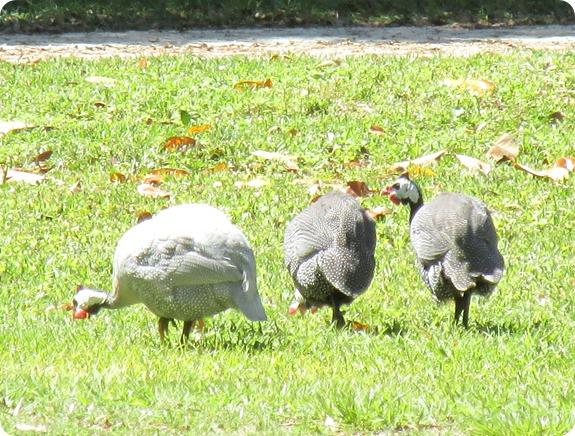 4 Guinea fowl Bird