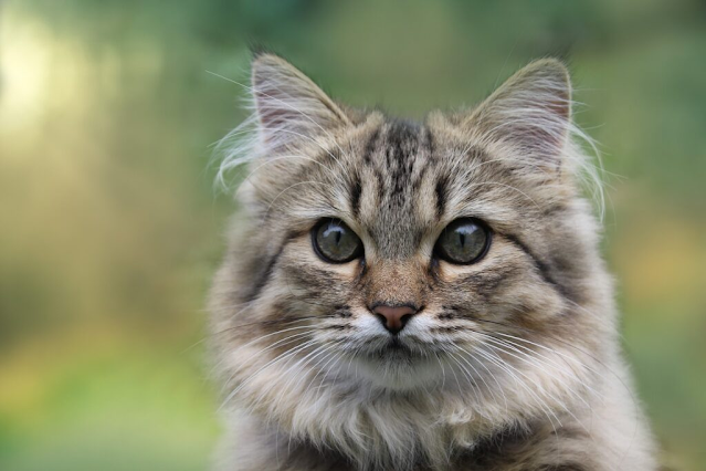 Norwegian Forest Cat guide