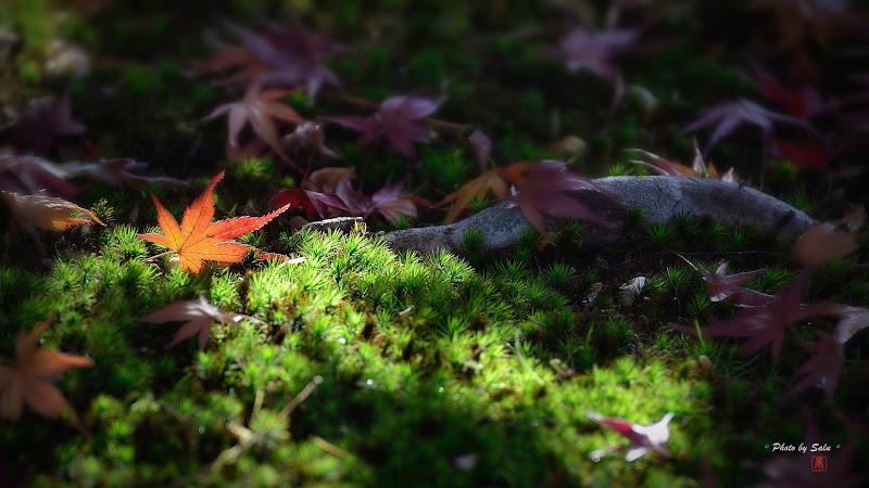 日本京都嵐山秋楓