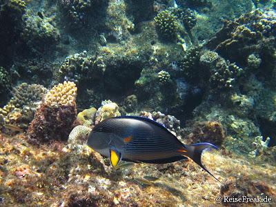 010 Arabischer Doktorfisch (Acanthurus sohal)  Ägypten Dez 2014 - Marsa Alam - Coraya Bay IMG_0290