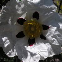10 Cistus ladanifer. Jara pringosa. Flor de seis pétalos