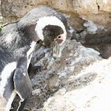 Mamãe e bebê Pinguim - Península Valdez, Argentina