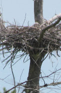 Heron Colony at Libby Hill-001.JPG