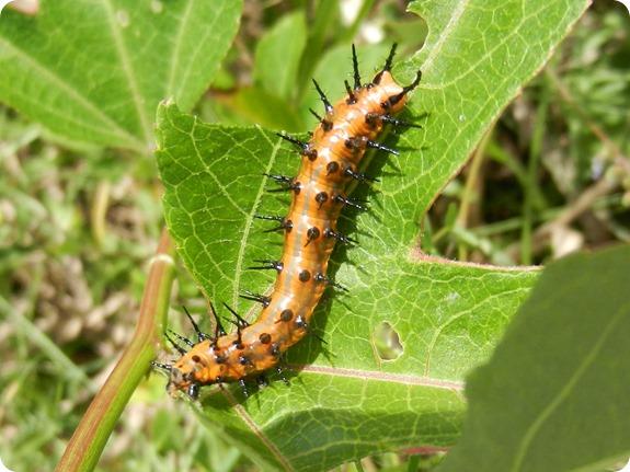 Gulf Fritillary [Agraulis vanillae] Caterpillar (1)
