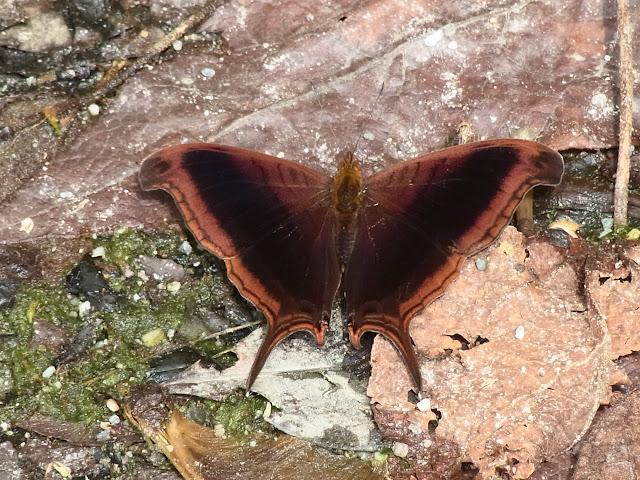 Marpesia zerynthia dentigera (Fruhstorfer, 1907). Quebrada Chirajara, 1050 m (Cundinamarca, Colombie), 25 novembre 2015. Photo : J. Michel