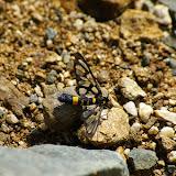 Arctiidae : Syntominae sp. Xizhou, 2200 m asl (Yunnan), 6 août 2010. Photo : J.-M. Gayman