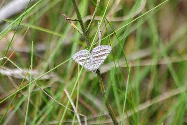 Larentiinae : Scotopteryx coarctaria (DENIS & SCHIFFERMÜLLER, 1775). Plateau de Coupon (517 m), Viens (Vaucluse), 10 mai 2014. Photo : J.-M. Gayman