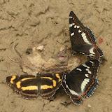 Limenitis populi ussuriensis STAUDINGER, 1887 et Neptis thisbe MÉNÉTRIÉS, 1859. Six km au sud d'Anisimovka, alt. 500 m (Primorskij Kraj, Oussouri), 29 juin 2011. Photo : Jean Michel