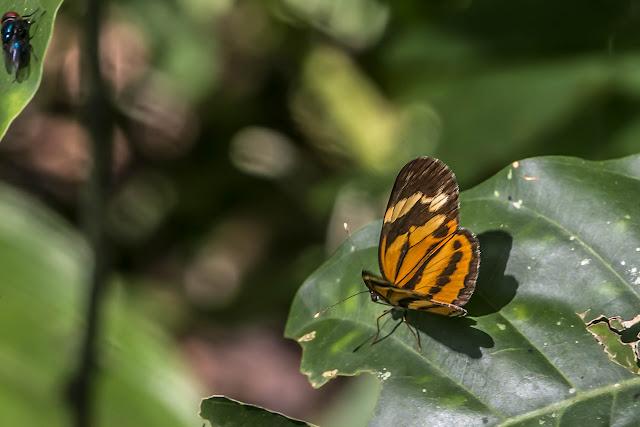 Eresia eunice drypetis Godman & Salvin, 1878. Bosque Bavaria (Villavicencio, Meta, Colombie), 9 novembre 2015. Photo : B. Lalanne-Cassou
